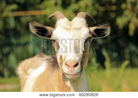Goat on a green background