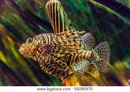 Close Up View Of A Venomous Red Lionfish