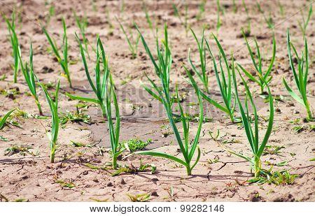 Rows Of  New Leeks Growing In A Vegetable Garden. Garlic Plantation In The Vegetable Garden