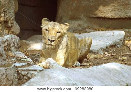 Female lion on top of a rock formation