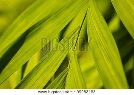 Broad Leaves Of A Palm Tree