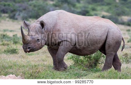 Handsome Black Rhino