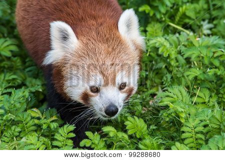 Red Panda Close Up Of Face