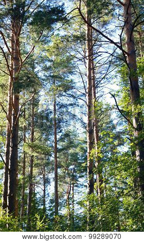 Pine Forest At Summer.