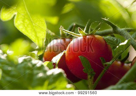 Peek Tomato