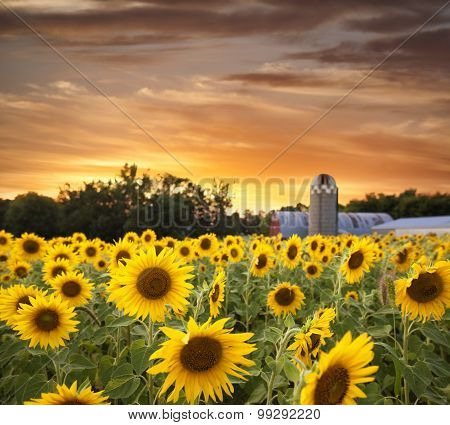 Sunflower Field And Barn At Sunset