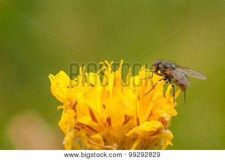 Common Housefly on a Dandelion