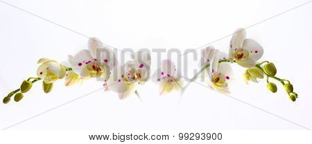 Beautiful White Orchid Flower Over White Background