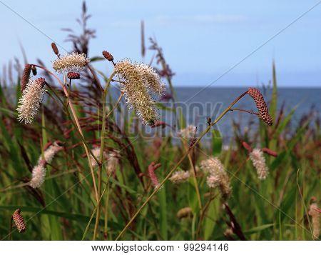 grass Burnet