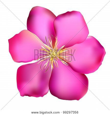 Pink Clematis Vector Illustration