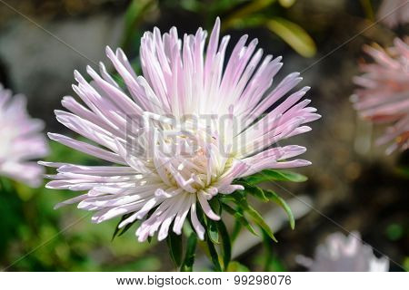 aster flower to blossom