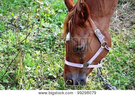 a horse with a bridle, which burns the grass in the meadow