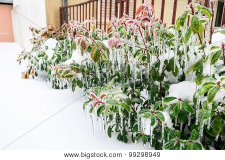 Frozen Greenery, Bushes And Flowers In The Garden In Winter