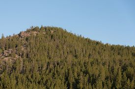 image of pinus  - A rounded mountain top covered with Lodgepole Pine  - JPG