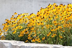 foto of black-eyed susans  - Thick blanket of a pretty yellow flower  - JPG