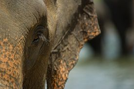 stock photo of indian elephant  - Closeup of an indian elephant eye and face - JPG
