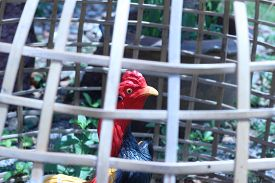 pic of chicken-wire  - Chicken statue was kept in a locked bamboo brown - JPG
