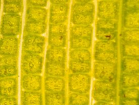 picture of stomata  - micrograph of green leaf with breathing cells stomata - JPG