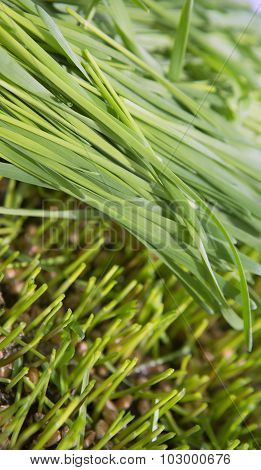 Wheat Green Sprouts, A Raw Food Diet, Growing