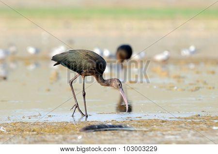 Glossy Ibis Feeding At Lake Shore And Gulls At Background