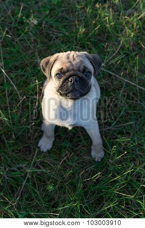 Pug puppy sitting on the grass outdoors