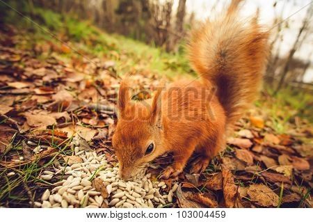 Squirrel red fur funny pets autumn forest on background wild nature animal thematic