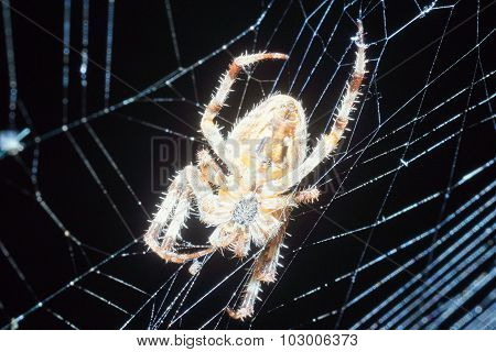 European garden spider hunting