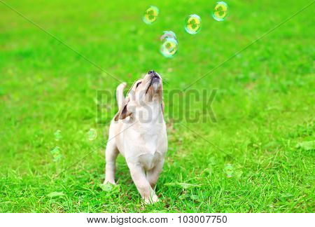 Beautiful Dog Puppy Labrador Retriever Playing With Soap Bubbles On Grass