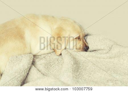 Beautiful Dog Puppy Labrador Retriever Sleeping On Blanket