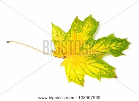 Yellowed Multicolor Autumn Maple-leaf