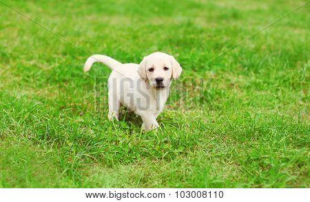 Cute Dog Puppy Labrador Retriever Running On Grass