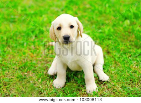 Cute Dog Puppy Labrador Retriever Sitting On Grass