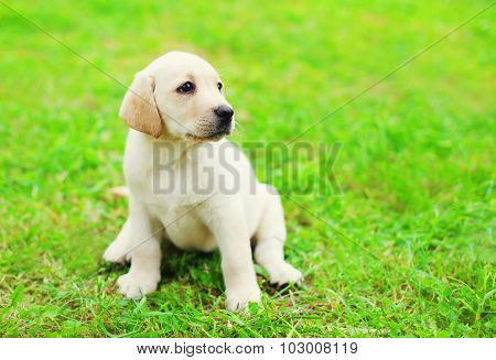 Cute Dog Puppy Labrador Retriever Sitting On Green Grass In Profile And Looking Away