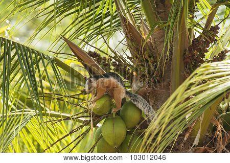 Squirrel Shredding The Coconut