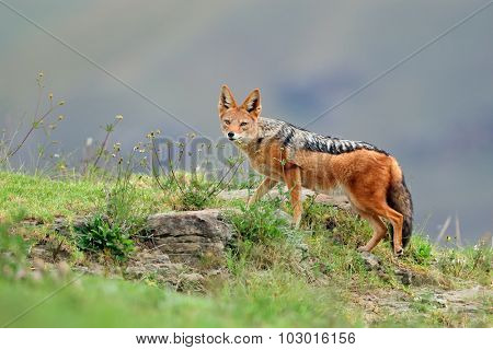 Black-backed Jackal (Canis mesomelas) in natural habitat, South Africa