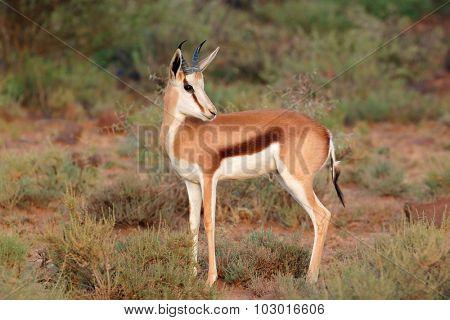 A young springbok antelope (Antidorcas marsupialis), Mokala National Park, South Africa