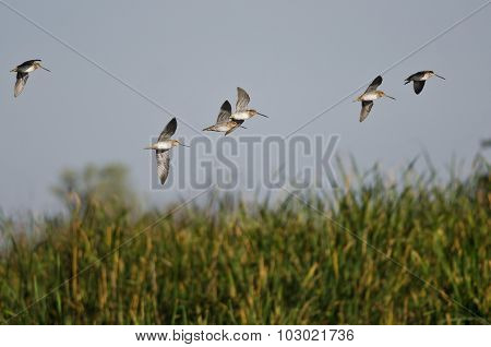 Flock Of Sandpipers Flying Low Over The Marsh