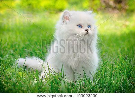 White British Kitten Sitting In The Grass.