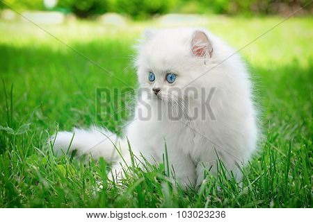 Nice White British Kitten Sitting In The Grass.