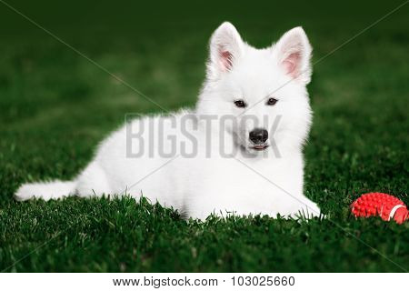 White Swiss Shepherds puppy