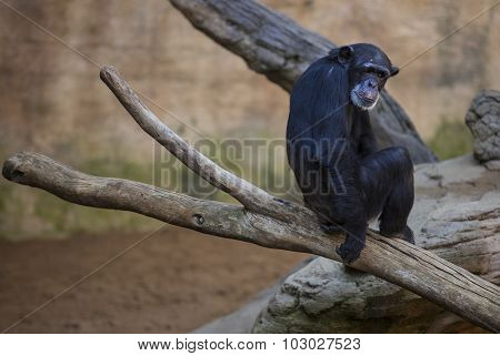 Old Chimpanzee On The Branch