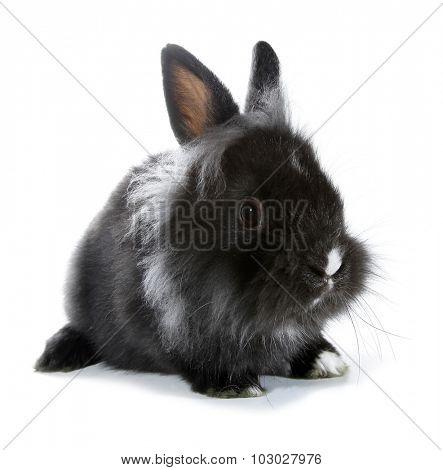 Black gray rabbit bunny isolated on white background