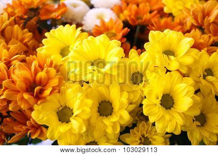 Oxeye daisy yellow flowers