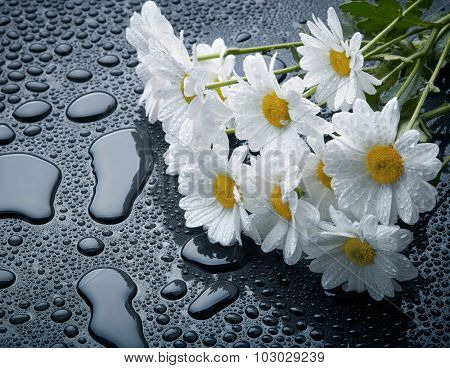 White daisies on black background with waterdrops