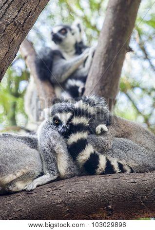Ring-tailed Lemur Resting