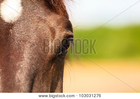 Closeup Horse Eye Snout.
