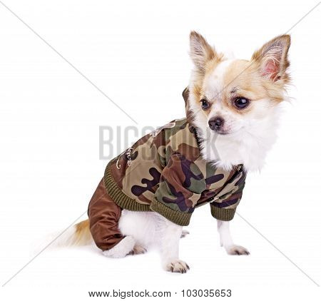 Chihuahua dog wearing fashion khaki jumpsuit