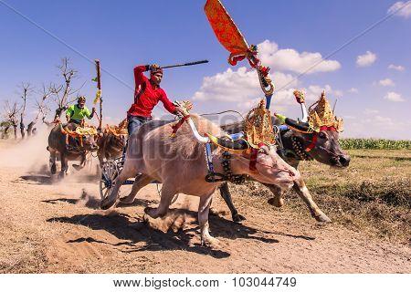 Buffalo Race Makepung In Bali Negara Jembrana