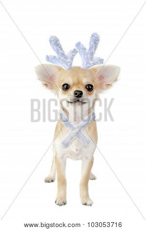 Christmas chihuahua puppy - reindeer with blue bow