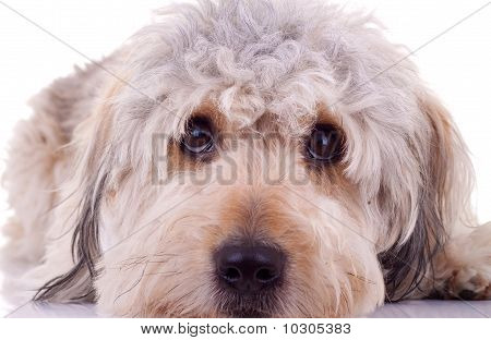 sad eyes of a bearded collie